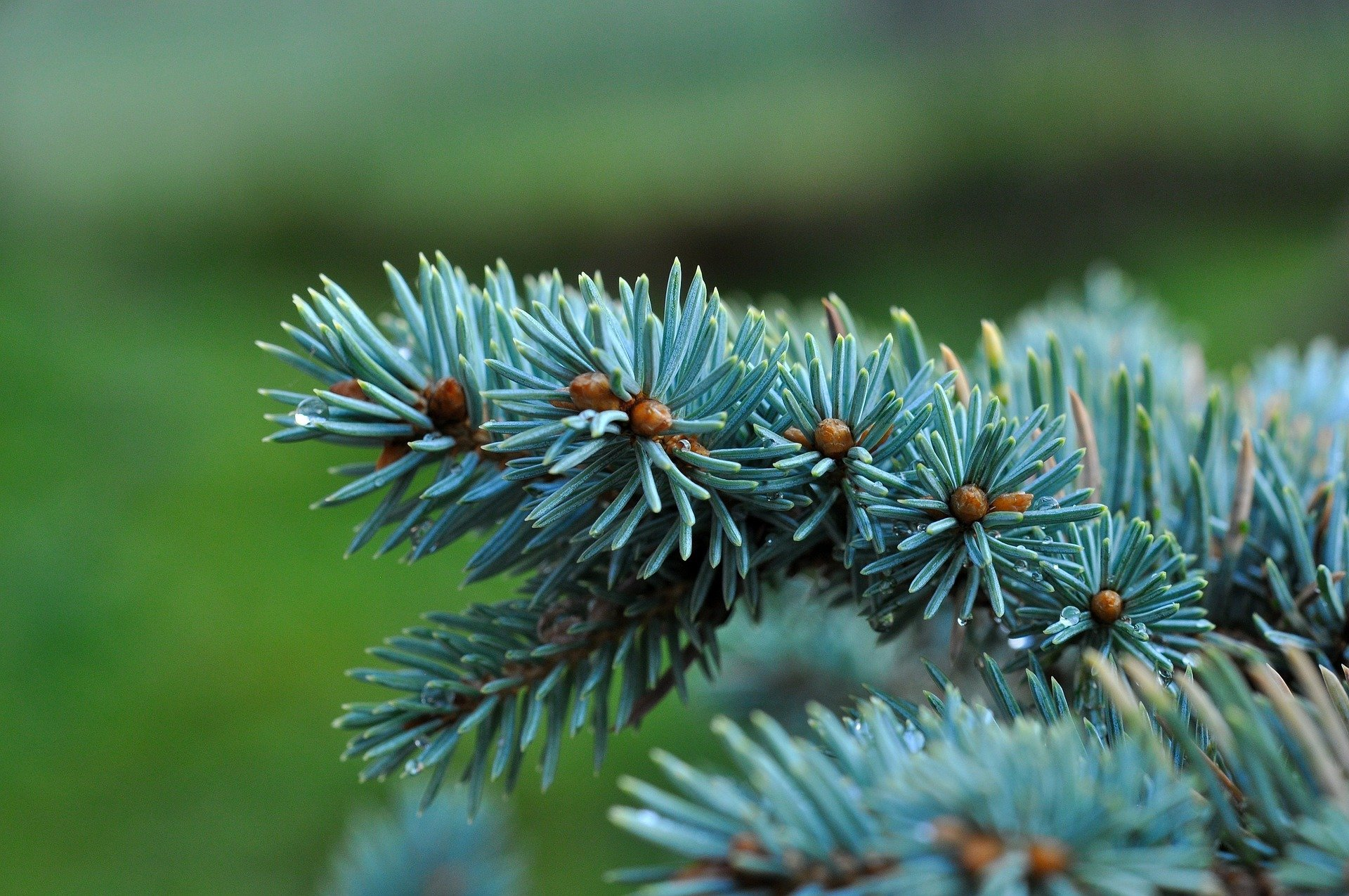 Blue Spruce Scent