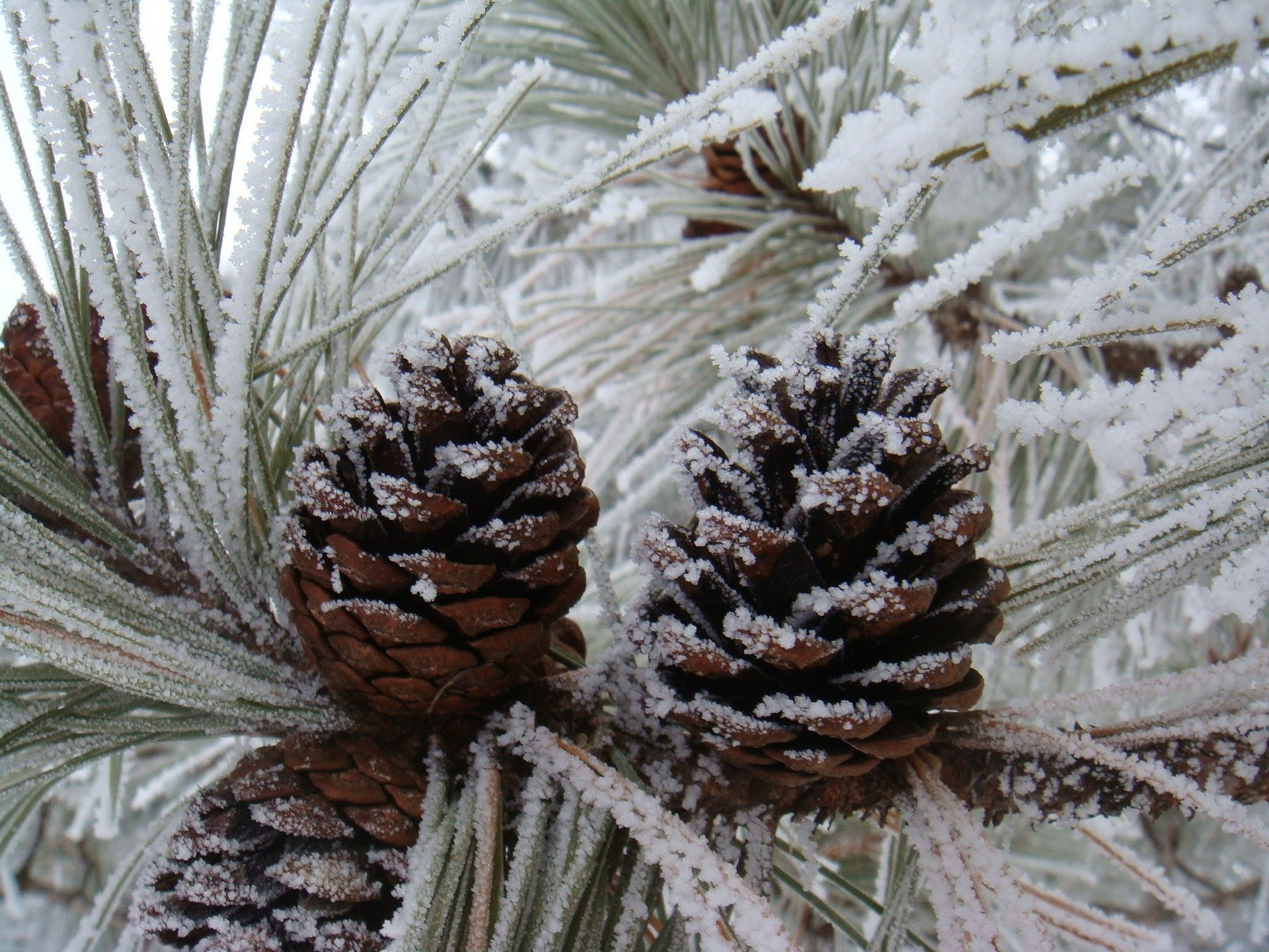 Frosted Pinecone Scented Candle